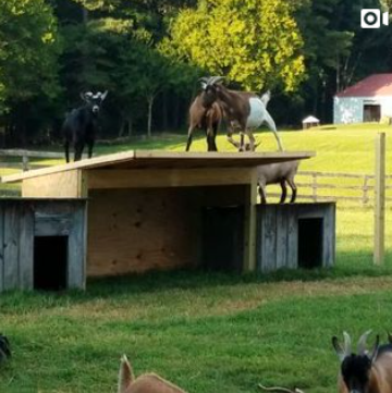 Goats playing on their new houses